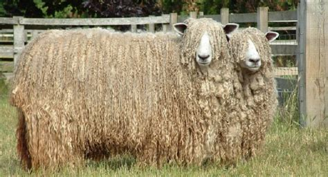 Lincoln Sheep Habitat Facts Size And Images Petwolds