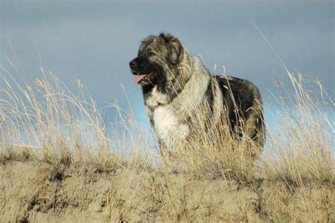caucasian shepherd dog dog breed information american