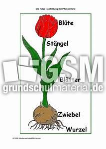 Aufbau Einer Blume : tulpe pflanzenteile die tulpe fr hling jahreszeiten hus klasse 2 ~ Whattoseeinmadrid.com Haus und Dekorationen