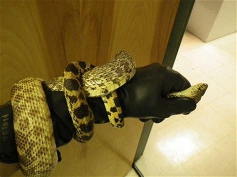 snake skin shed preservation snake skin preservation by clintoncordova on