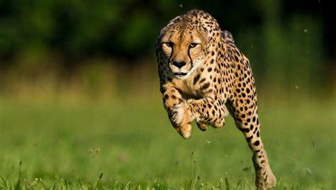 Hd Animal Wallpapers For Desktop Free - cheetah photos animals hd wallpapers free