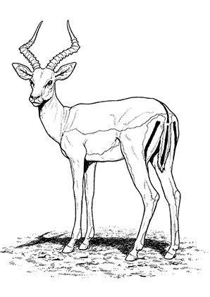 antelope coloring pages preschool  kindergarten