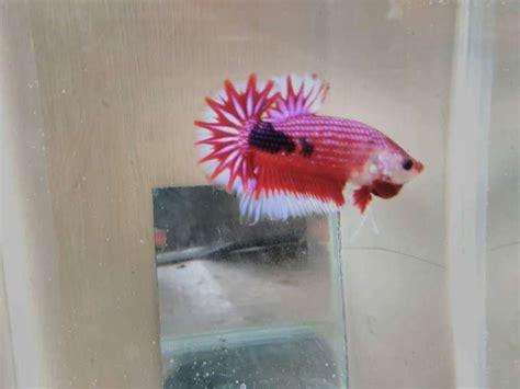 Cara Memelihara Ikan Cupang cara memelihara ikan cupang hias dengan baik dan benar