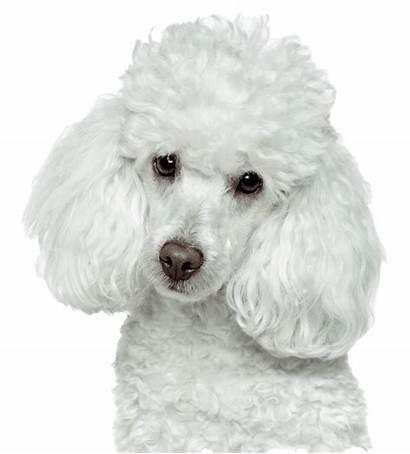 Poodle Clipart Transparent Head Dog Puppy Retriever