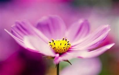 Flowers Desktop Flower Wallpapers Purple Cosmos