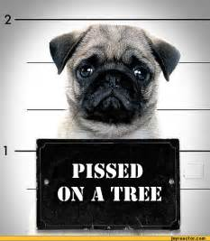 Funny Pug Jokes
