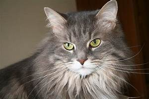 How to Tell If Your Maine Coon is a Mix - MaineCoon.org