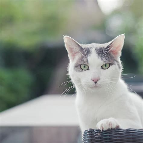 grayish blue grey and white cat photograph by prins