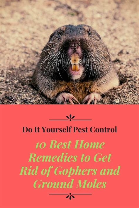 rid  gophers  ground moles naturally