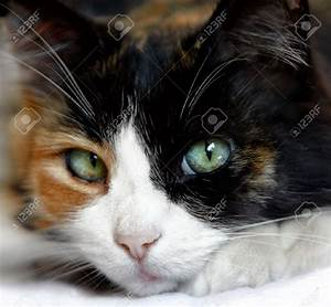 Close Up Of Calico Cat With Beautiful Green Blue Eyes ...