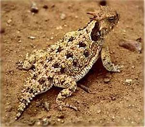 Desert Animals : Horned Lizards - Information and Wallpapers