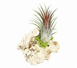 Pflanzen Auf Stein : tillandsien arrangement 1 pflanze auf stein dehner garten center ~ Frokenaadalensverden.com Haus und Dekorationen
