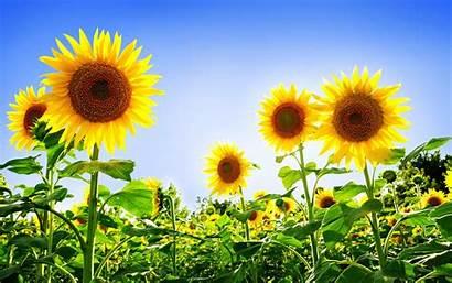Sunflowers Desktop Wallpapers Backgrounds Sunflower Background Sun