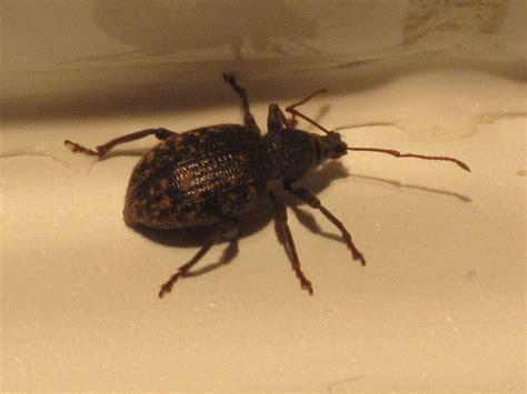 weevil bugs black vine weevil occasional invaders control pest control by terminix
