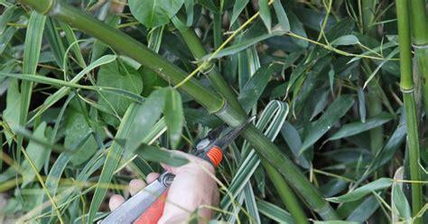 Bambus Garten Pflanzen Kölle by Bambus So Gelingt Der Schnitt Garten Bambus Garten