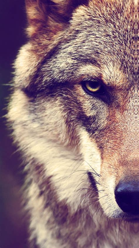wolf iphone wallpapers top  wolf iphone backgrounds