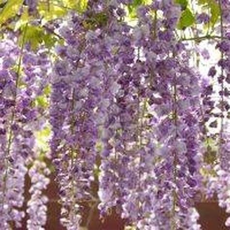 growing wisteria how to grow wisteria in a pot wisteria pots and plants