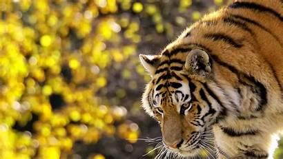Wallpapers Tiger Nature Tigers 64k Ultra Wallpapersafari