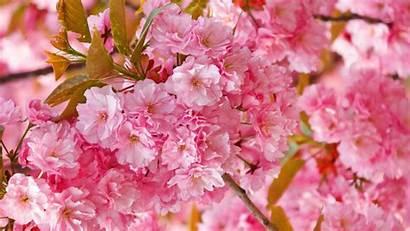 Blossom Cherry Desktop Wallpapers Pixelstalk