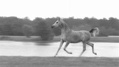 Horse Horses Gifs Elegance Running Arabian Konie