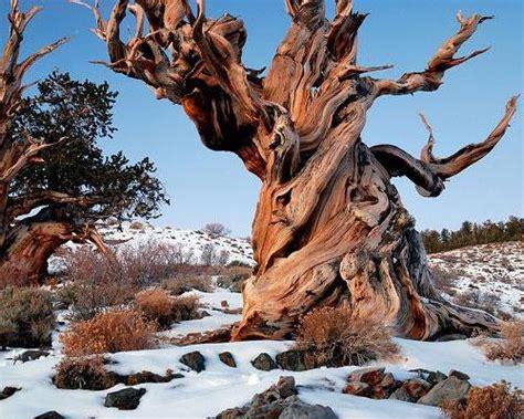 Vecākais koks, kas aug mūsu planētas