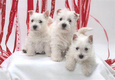 West Highland White Terrier Westie Puppies For Sale Akc Puppyfinder