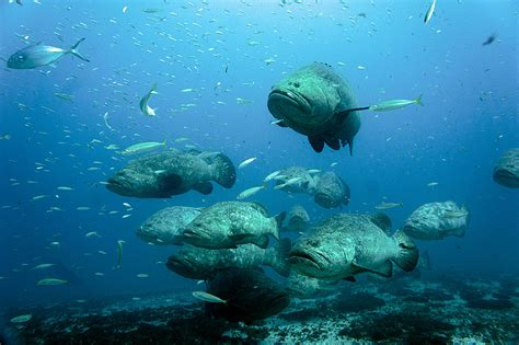 goliath grouper beware predator why many apex obviously there