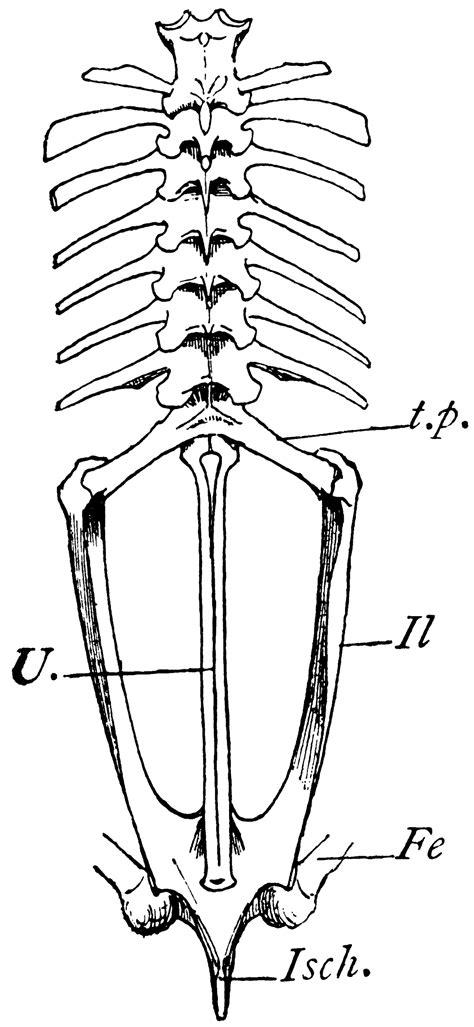 bullfrog vertebrae clipart