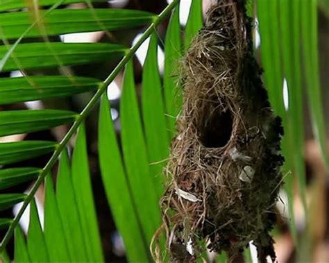 sunbirds nesting couple camiguin sunbird eggs