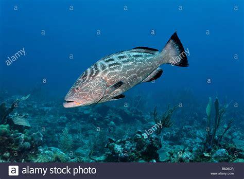 grouper fish swimming coral reef mycteroperca bonaci alamy
