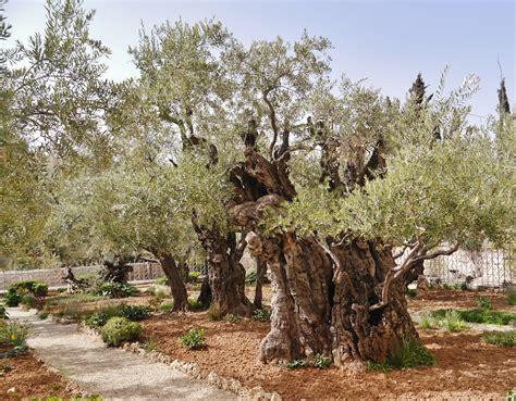 Filejerusalem Garten Gethsemane 4jpg  Wikimedia Commons