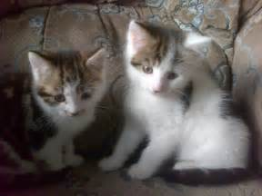 cat sales 2 kittens for bradford west pets4homes