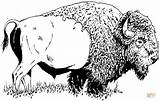 Buffalo Bison Coloring Pages American Printable Drawings Adult Face Drawing Draw Animal Template Wildlife Wood Animals Native Sketches Burning Patterns sketch template