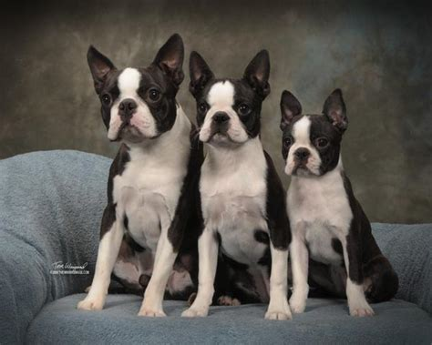 circle js boston terriers breeder puppy  sale breeding