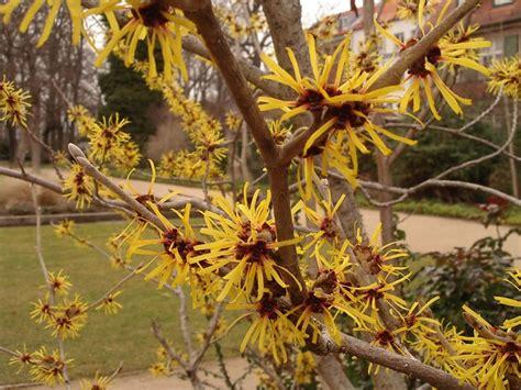 wich hazel file hamamelis flower jpg