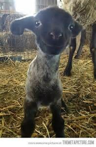 Cute Baby Lamb Smiling