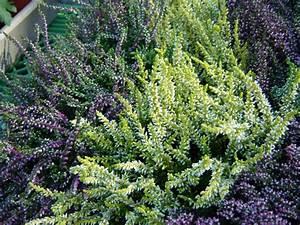 Wann Schneidet Man Gräser : heidekraut herbstpflanzen f r den garten ~ Frokenaadalensverden.com Haus und Dekorationen