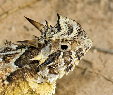 Horny Toad Meme - horny toads are often seen around our property http tanqueverderanch com tucson critters