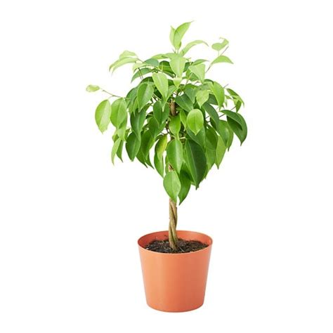 Ficus Benjamina Potted Plant Ikea Interiors Inside Ideas Interiors design about Everything [magnanprojects.com]
