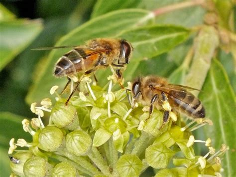 Identifying Insects On Ivy Flowers