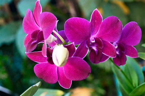 papua anggrek bulan bunga pesona bangsa indonesia