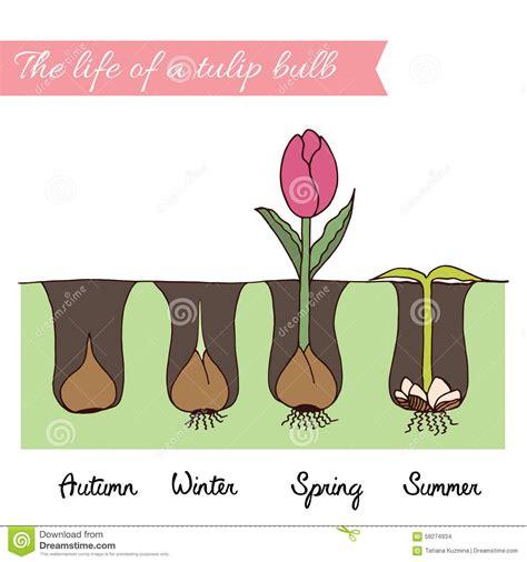 comment planter les tulipes photo de fleur une pensee fleuriste