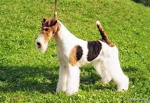 Fox Terrier - Raças de Cachorros