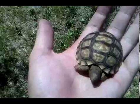 tortuga de tierras bebes youtube
