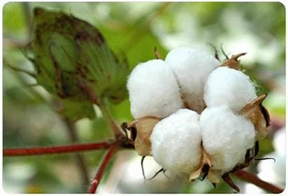 Natural Resources Fabrics Cotton Fabric Organic Fibers