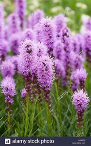 Liatris Spicata Kobold : liatris spicata stock photos liatris spicata stock images alamy ~ Watch28wear.com Haus und Dekorationen