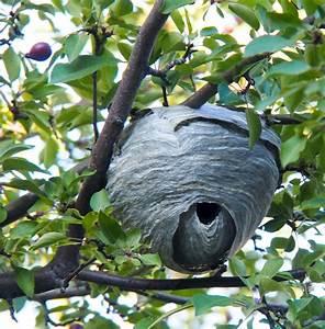 Diagram Of Hornet Nest