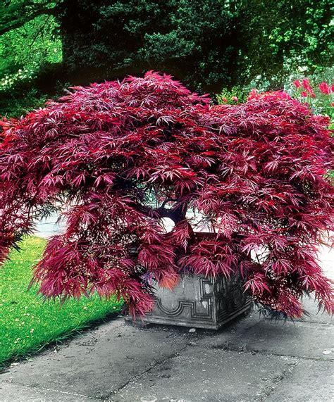 1000 ideas about acer palmatum on bonsai japanese maple trees and juniper bonsai