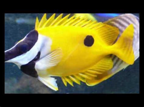 19 Jenis Ikan Hias 15 jenis ikan hias air tawar aquarium