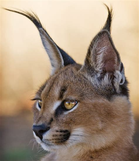 10 Cute Animals With Big Ears Caracal